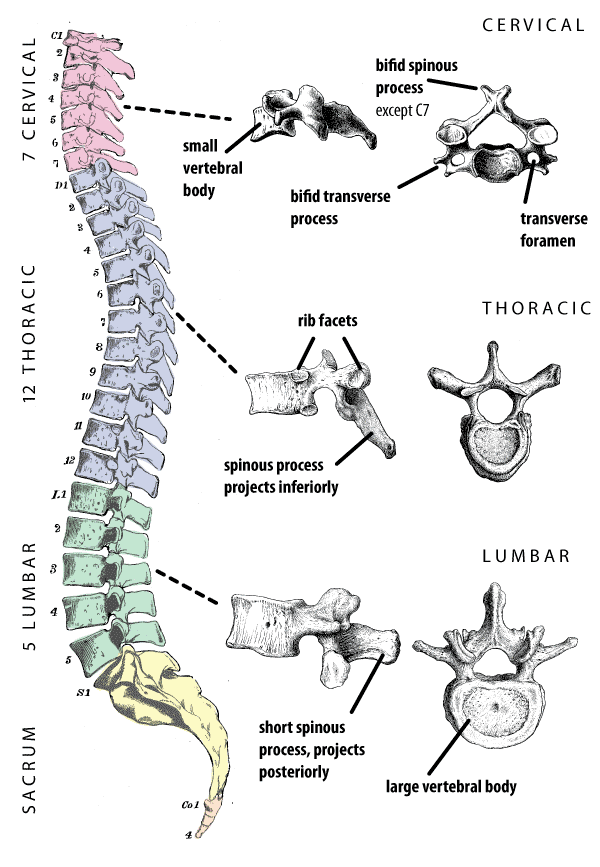 vertebral_column_labeled_colored_2010